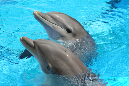 Wildlife - A pair of dolphins swimming in a pool.