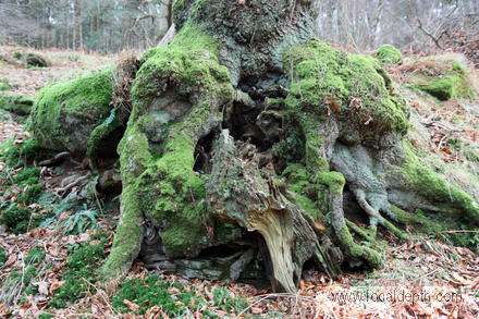 UK - Old tree with exposed roots and covering of moss