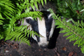 Wildlife - European Badger hiding in ferns