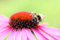 Flowers - Echinacea or Coneflower, with bumble bee