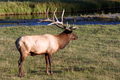 Wildlife - Elk in Yellowstone