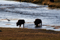 Wildlife - Bison crossing the Firehole River near Fountain Flatts Drive in the Lower Geyser Basin, Yellowstone National Park, Wyoming.