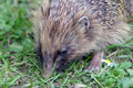 Wildlife - Hedgehog